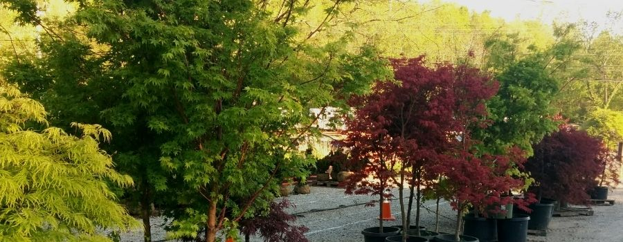 Several different Japanese maples
