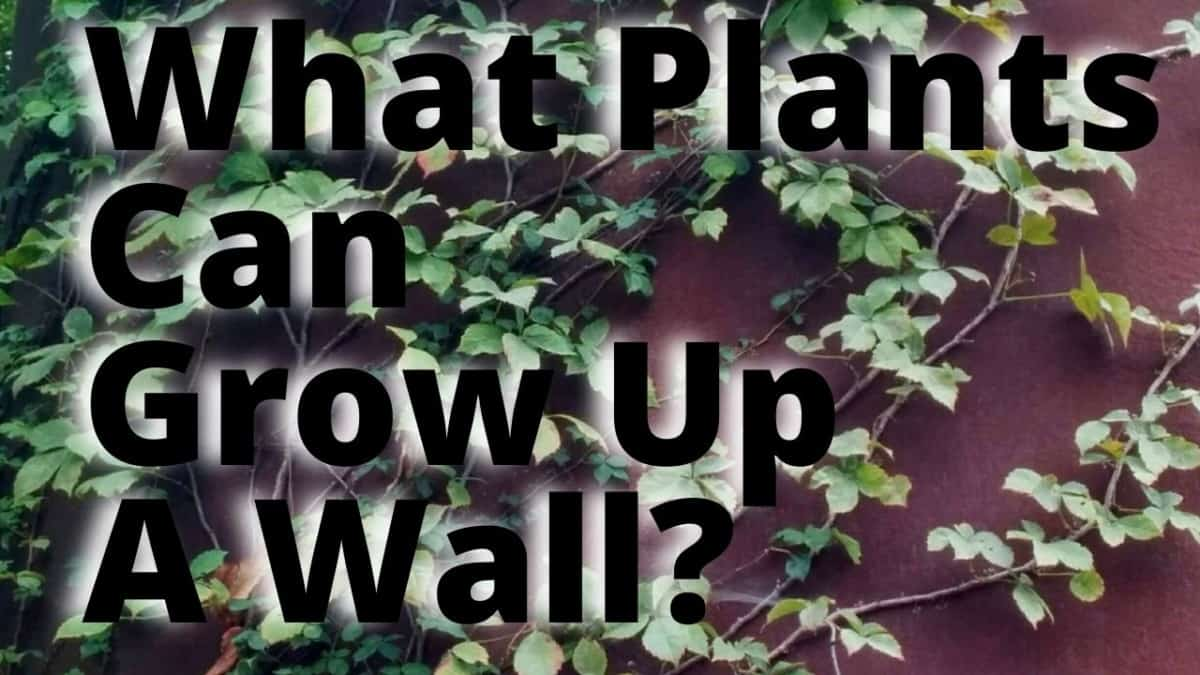 What Plants can Grow Up AWall